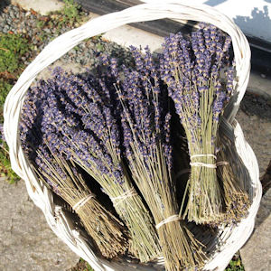 Purple Scent Lavender ~ Royal Velvet